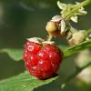 Forest raspberry