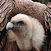 Giant vulture puzzle