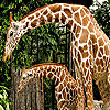 Giraffes in the forest slide puzzle