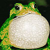 Glutton frog puzzle