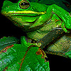 Green fat frog puzzle