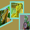 Green iguanas in zoo puzzle