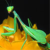 Green  mantis in the garden puzzle