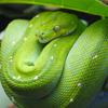 Green Tree Python Jigsaw Puzzle