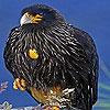 Harsh black bird puzzle