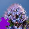 Hyacinth Jigsaw