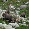 Jigsaw: Alpine Ibex