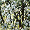 Jigsaw: Apple Tree Flowers