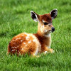 Jigsaw: Baby Antelope