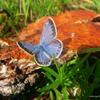 Jigsaw: Blue Butterfly