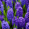 Jigsaw: Blue Hyacinths