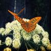 Jigsaw: Butterflies