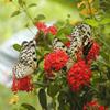 Jigsaw: Butterfly Family