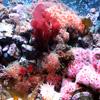 Jigsaw: Coral Reef