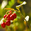 Jigsaw: Cowberry