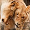 Jigsaw: Cuddling Lions