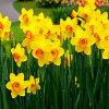 Jigsaw: Daffodils