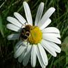 Jigsaw: Daisy Bug