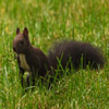 Jigsaw: Dark Squirrel