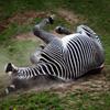 Jigsaw: Dusty Zebra