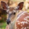 Jigsaw: Fallow Deer