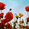 Jigsaw: Field Poppy
