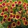 Jigsaw: Flower Field