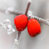 Jigsaw: Frosty Red Berries