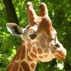 Jigsaw: Giraffe 2