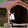 Jigsaw: Goat House
