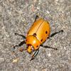 Jigsaw: Grapevine Beetle