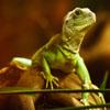 Jigsaw: Green Lizard