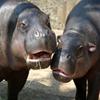 Jigsaw: Hippos
