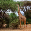 Jigsaw: Hungry Giraffe