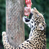 Jigsaw: Hungry Leopard