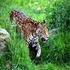 Jigsaw: Jaguar
