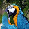 Jigsaw: Kissing Parrots