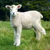 Jigsaw: Lamb