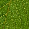 Jigsaw: Leaf Veins