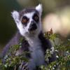 Jigsaw: Lemur