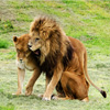 Jigsaw: Lion And Lioness