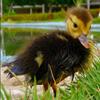 Jigsaw: Little Duckling