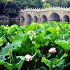 Jigsaw: Lotus Flower Field