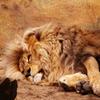 Jigsaw: Lying Lion