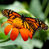 Jigsaw: Monarch Butterfly