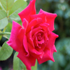 Jigsaw: One Rose