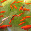 Jigsaw: Orange Fish