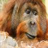 Jigsaw: Orangutan