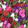 Jigsaw: Petunia