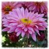 Jigsaw: Pink flower